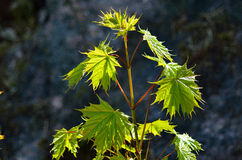 Young maple tree. Young green maple tree in the Swedish forest during a sunny day stock photos