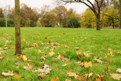 Young maple tree with leaves on the ground Stock Photo
