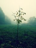 Young maple tree in the mist Royalty Free Stock Photography