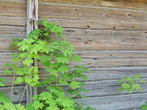 Rural old house. Wooden wall. Young maple near the old farmhouse Stock Photography