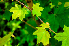 Young maple tree Stock Photography