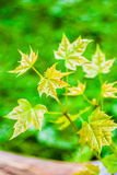 Young maple tree Stock Images