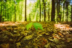 Young maple tree way through last year's leaves in Royalty Free Stock Images