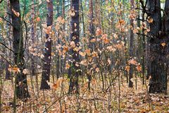 Young maple trees in autumn forest stock photography