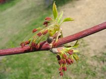 Young maple twig with red catkins Royalty Free Stock Photos