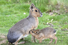 Young Mara suckling feeding from its Mother Royalty Free Stock Photos