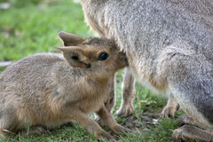 Young Mara suckling feeding from its Mother Stock Images
