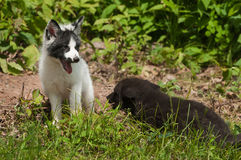 Young Marble Fox and Silver Fox (Vulpes vulpes) Playing Stock Photography