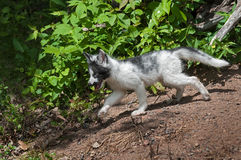 Young Marble Fox (Vulpes vulpes) Stalks Away from Den Royalty Free Stock Photo
