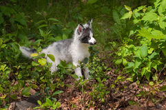 Young Marble Fox (Vulpes vulpes) Stands in Greenery Royalty Free Stock Images