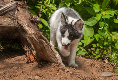 Young Marble Fox (Vulpes vulpes) Walks Around Log Royalty Free Stock Image