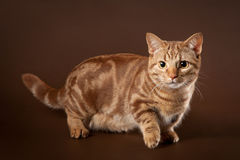 Young marble manchkin cat Royalty Free Stock Photography