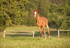 Young mare gallops on pasture Stock Photography