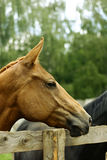Young Mare Profile. Gorgeous horse profile on the green background Royalty Free Stock Image