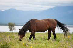 A young mare will be seated on the shore of the lake. Tyva Republic. Mongolia. Steppe royalty free stock images