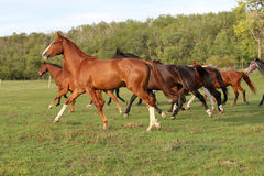 Young mares and foals running  across the pasture. Mares and foals galloping on the meadow summer time Stock Photography