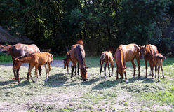 Young mares and fols eating green grass on horse ranch. Purebred gidran horses eating fresh mown grass on a rural horse farm when the sun goes down Stock Photo