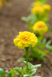 Young Marigold Plants Stock Photography