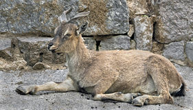 Young markhor 2 Stock Photography