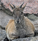 Young markhor 3 Stock Photography