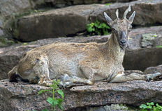 Young markhor 5 Stock Image