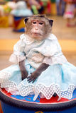 Young marmoset monkey in a blue dress sits on the curb Stock Photo