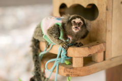 Young Marmoset monkey with surprise face royalty free stock photo