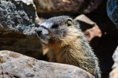 Young Marmot Royalty Free Stock Photography