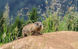 Young marmot on alpine meadow Stock Image