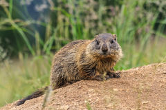 Young marmot on alpine meadow Royalty Free Stock Photography