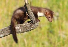 Young marten climbing Stock Photography