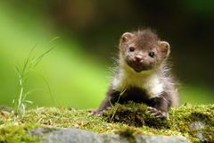 Young marten Stock Photo