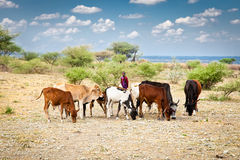 Young Masai herders and cattle , Tanzania , Africa. Stock Images