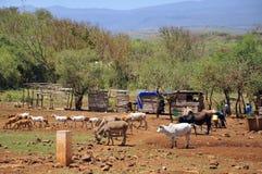 Young Masai walking through the savanna. ARUSHA,TANZANIA, OCT 20: Unidentified young Masai walking through the savanna with their beasts on Oct 20, Arusha royalty free stock images
