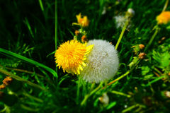 Young and mature dandelion royalty free stock photo