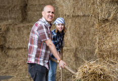 Young and mature fermers with pitchforks working in cows barn Royalty Free Stock Images