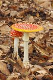 Young and mature Fly Agaric Amanita muscaria mushrooms growing Royalty Free Stock Photography
