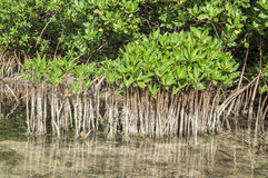 Young and mature mangroves royalty free stock photos