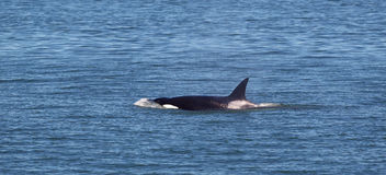 Young Mature Orca Whale Swimming in the Ocean Stock Image
