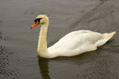 A young maturing mute swan whose neck feathers are not fully white. Seen here in Lymington Marina in England Royalty Free Stock Images