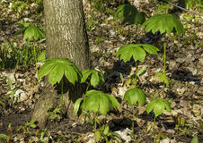 Young mayapple plants Royalty Free Stock Images
