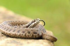 Young meadow viper in aggressive position. Vipera ursinii rakosiensis Stock Photography