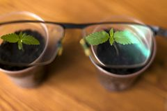Young medical marijuana plants in cups through a lens of glasses royalty free stock images
