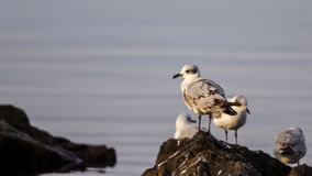 Young Mediterranean Gull Royalty Free Stock Photography