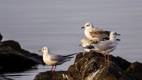 Young Mediterranean Gulls Royalty Free Stock Photos