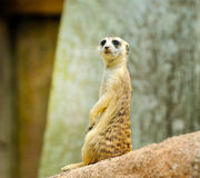 Young meerkat Royalty Free Stock Photo