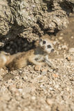 Young meerkat. Cute young meerkat peering out Stock Images