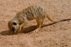 Young meerkat digging Stock Images