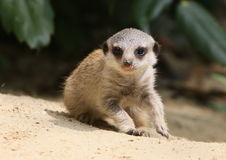 Young Meerkat Gone Walkabout Stock Images