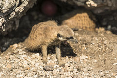 Young meerkat. Looking out of its burrow Royalty Free Stock Photos